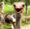Едем в гости к страусам.