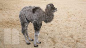 В столичном зоопарке родился верблюжонок.